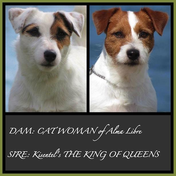 Jack Russell Terrier: fajta jellemző - Élelmiszer May